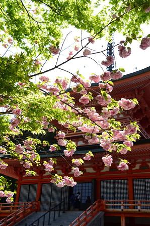 八重桜と東塔