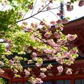 写真: 八重桜と東塔
