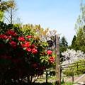 写真: 石楠花園