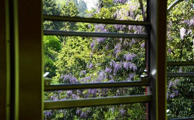 写真: 坂本ケーブルから見る山藤(ヤマフジ)