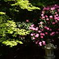 写真: 石楠花と新緑