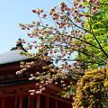 写真: 塔ともみじと八重桜