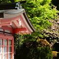 写真: 八重桜ともみじの新緑
