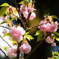 写真: 文殊塔脇の八重桜