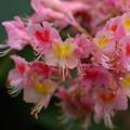 写真: 紅花栃の木(ベニバナトチノキ)