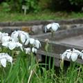 写真: 紫陽花園の杜若
