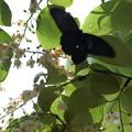 写真: 白雲木にやって来た黒揚羽(クロアゲハ)
