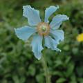 ヒマラヤの青い罌粟