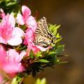 写真: 兼六園の揚羽蝶(アゲハチョウ)