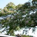 写真: 清所門向かいの栴檀(センダン)
