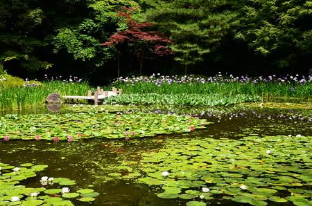 花菖蒲と赤もみじの白虎池