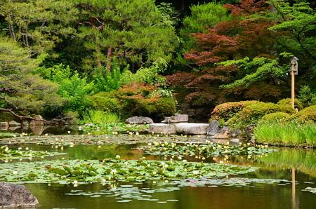 睡蓮と赤もみじの蒼龍池