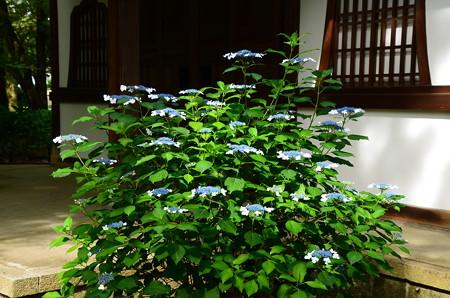 萬霊堂前の紫陽花