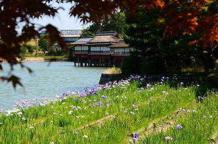 八丈ヶ池の花菖蒲
