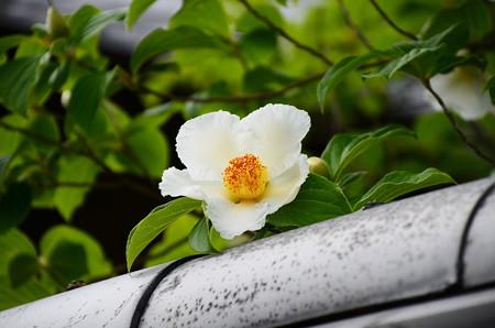 夏椿(ナツツバキ)