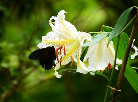 山百合にやって来た黒い蝶