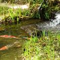 Photos: 蓮池の鯉
