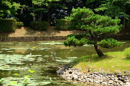 大沢の池の蓮