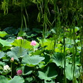 写真: 小野道風ゆかりの柳と蓮