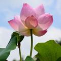 写真: 夏空に咲く