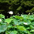 写真: 紫陽花園の蓮