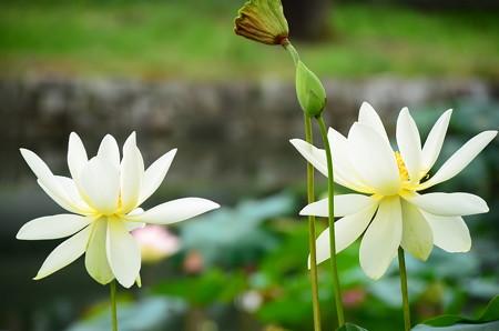 亜米利加黄花蓮(アメリカキバナハス)