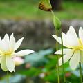 写真: 亜米利加黄花蓮(アメリカキバナハス)
