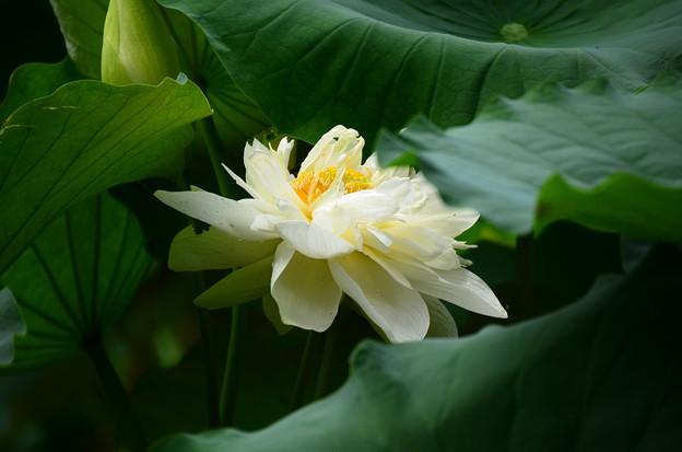 写真: 白芍薬蓮(シロシャクヤクレン)