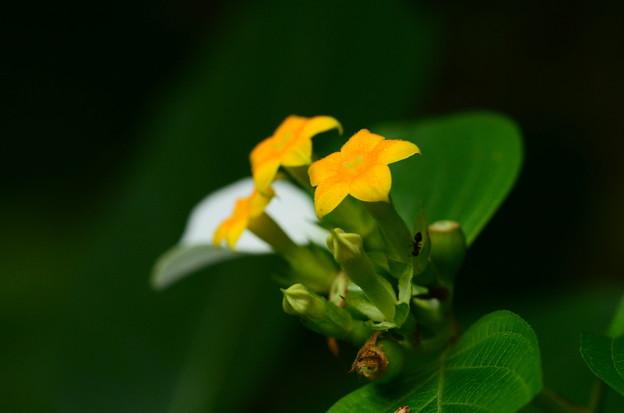 写真: 広葉崑崙花(ヒロハコンロンカ)