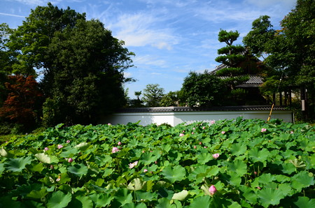 南禅寺蓮池