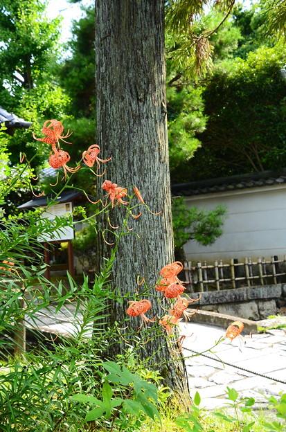写真: 参道脇の鬼百合(オニユリ)