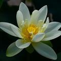 写真: 緑之星(ミドリノホシ)