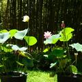 写真: 植物展示場前の蓮