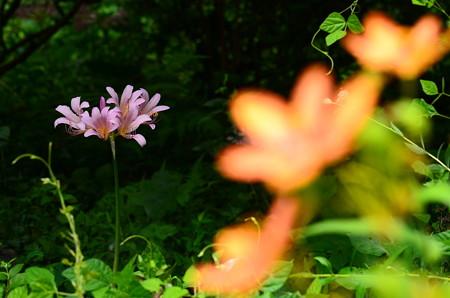桧扇の奥の夏水仙(ナツズイセン)