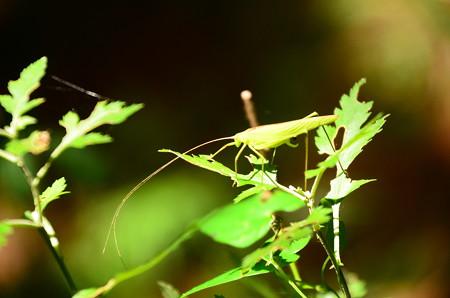 背筋露虫(セスジツユムシ)