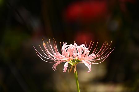 桃色彼岸花(モモイロヒガンバナ)