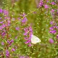 写真: 蝦夷禊萩の中の紋白蝶(モンシロチョウ)