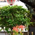 雨宝院の彼岸花