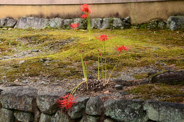 相国寺の彼岸花