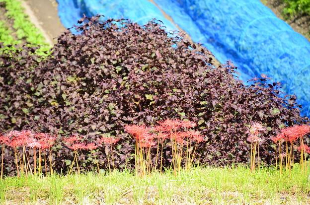 紫蘇の葉の前に彼岸花