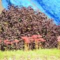 写真: 紫蘇の葉の前に彼岸花