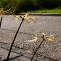 写真: 白花彼岸花(シロバナヒガンバナ)
