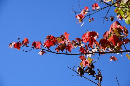 真っ赤な花の木(ハナノキ)