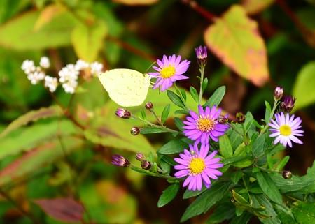 野紺菊と黄蝶(キチョウ)