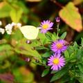 写真: 野紺菊と黄蝶(キチョウ)
