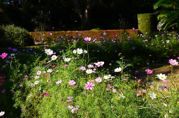 植物園会館前の秋桜