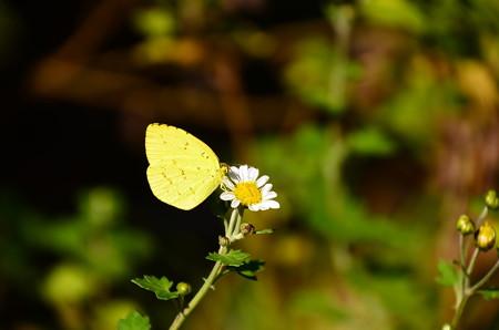 野路菊に止まる黄蝶