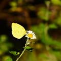 Photos: 野路菊に止まる黄蝶