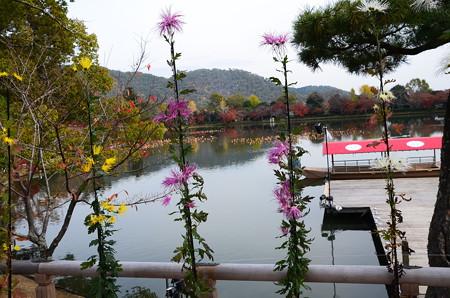 大沢の池と嵯峨菊