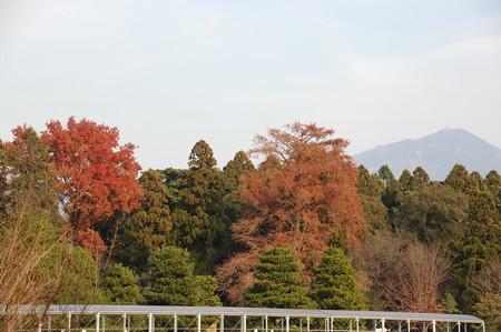 楓(フウ)と落羽松(ラクウショウ)と比叡山